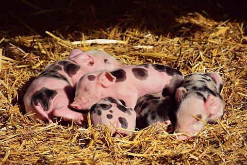 Swine Fever a Threat to Australia?