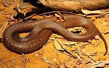 Western Brown Snake - Pseudonaja mengden