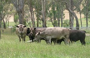 Greyman Top 10 Cattle Breeds in Australia in 2020