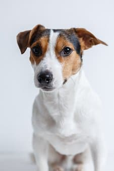 Jack Russel Terrier Top 10 Dog Breeds in Australia in 2020