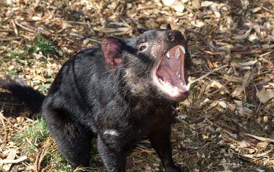 Tasmanian Devil Top 10 Flora And Fauna In Australia To Explore In 2020