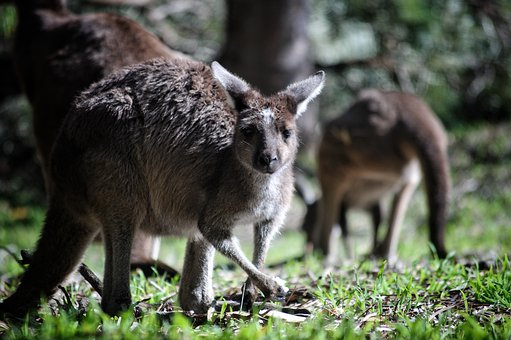 Kangaroo Top 10 Flora And Fauna In Australia To Explore In 2020