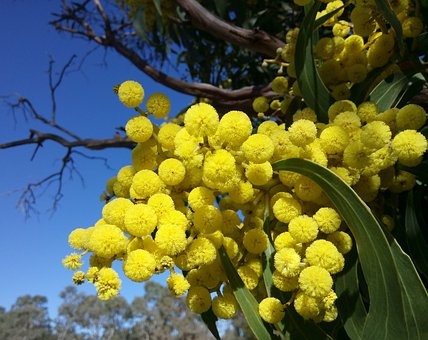 Acacia Top 10 Flora And Fauna In Australia To Explore In 2020