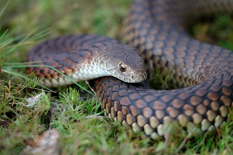 Top 10 Most Dangerous Venomous Snakes in Australia