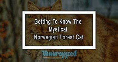 Getting To Know The Mystical Norwegian Forest Cat